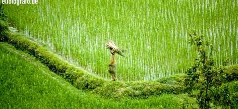 Arbeiten im Reisfeld auf Bali