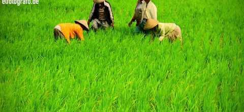 Arbeiter im Reisfeld auf Bali