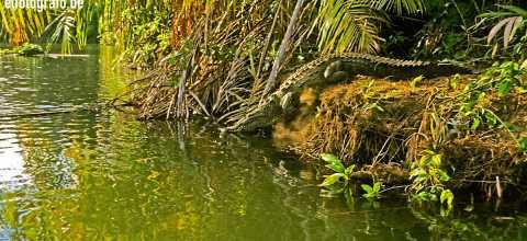 Flusskrokodil in Costa Rica