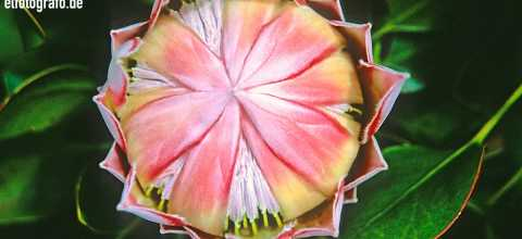 Hawaii Blume