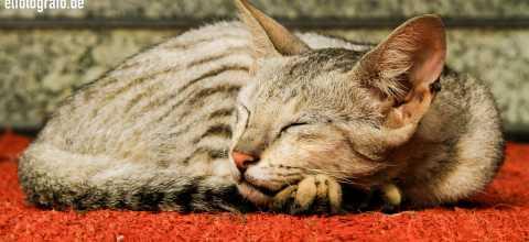 Katze in Indien