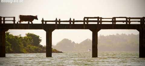 Kuh auf Brücke