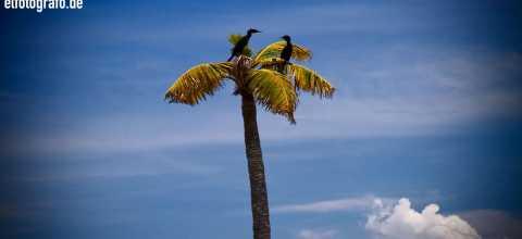 Zwei Reiher in Palme