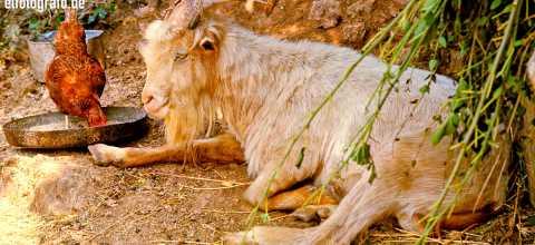 Ziege mit Huhn auf La Gomera