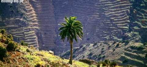 Eine Palme auf La Gomera