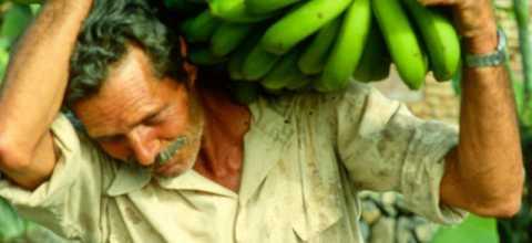 Bananenernte auf La Gomera