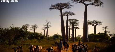 Viehtreiber auf Madagaskar