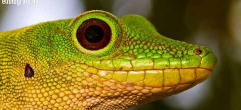 Taggecko auf Madagaskar