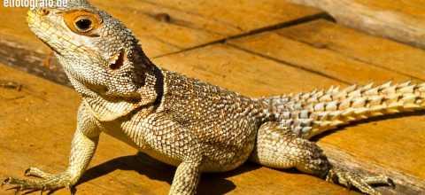 Waran auf Madagaskar